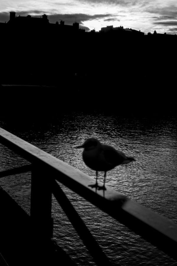 Un oiseau incognito - tirage limité - Nicolas Diolez